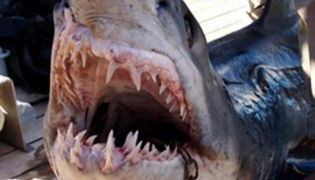 Страшные находки в желудках акул.