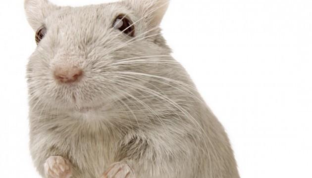 Гормон голоду грелін продовжив мишам життя