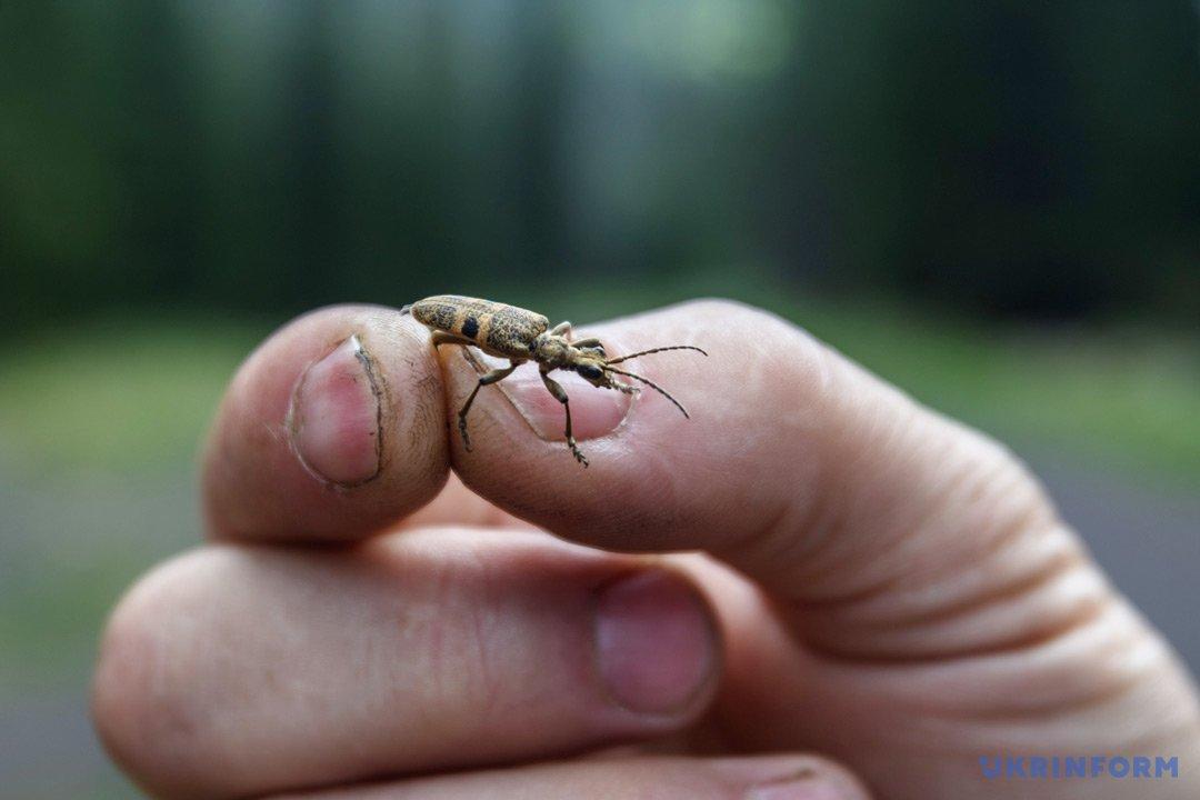Шкідник лісу - жук усач. Фото: Сергій Гудак, Укрінформ.