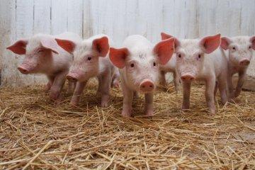 Moldavia prohíbe la importación de carne de cerdo de Ucrania debido a la peste africana