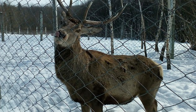 Humane zoo, or the life of wild animals in Halych National Park
