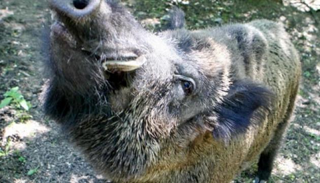 Африканська чума свиней поширилася вже на 20 областей України