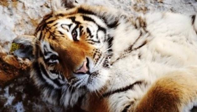 Індійський тигр отримає протез замість втраченої лапи