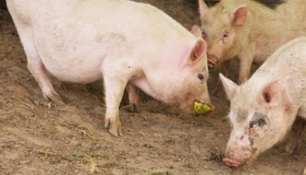 Экспорт свинины вырос в 2,5 раза