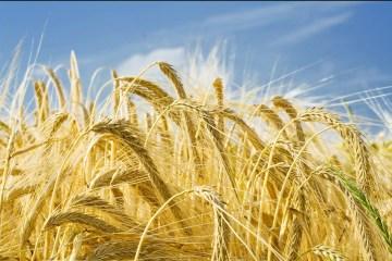 L'Ukraine détrônerait la Russie comme premier fournisseur de blé vers le Maroc