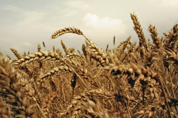 Na Ukrainie zebrano prawie 47,4 mln ton zbóż