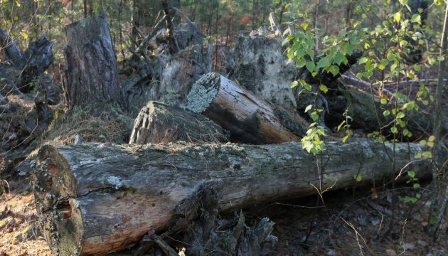 Unlawful felling of oak trees in Chernihiv region