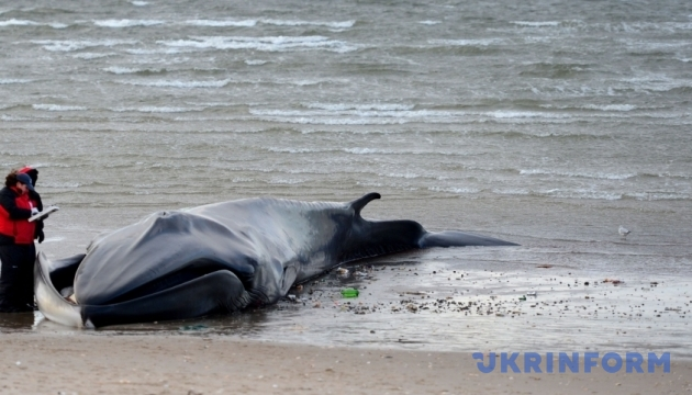 Сотня китів викинулася на берег в Індії