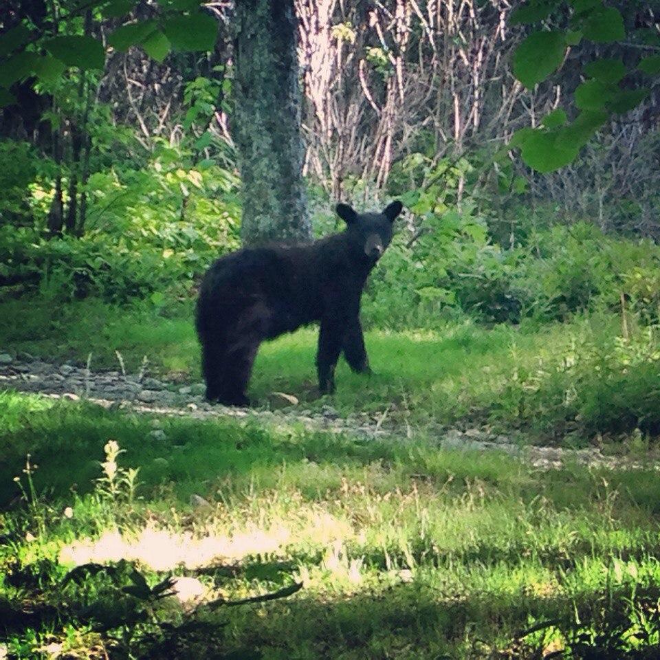 Фото: Чорний ведмідь. «Місцевий господар»