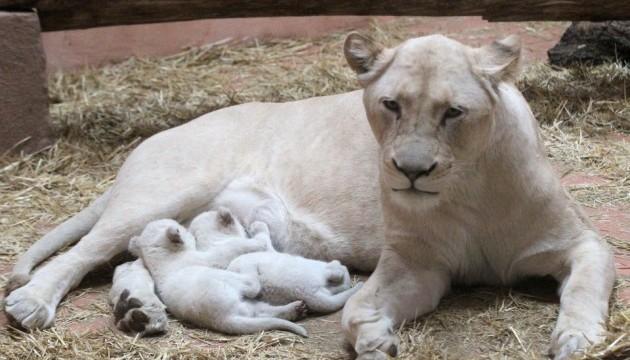 Під Києвом народилися рідкісні білі левенята
