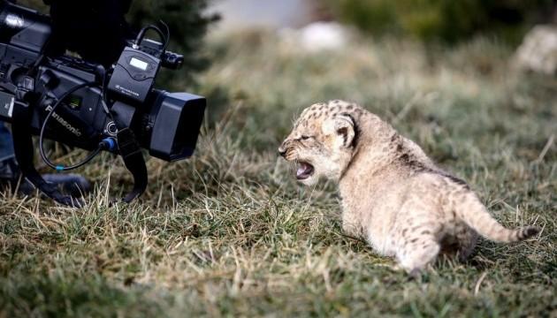 В горах Закарпатья поселили львенка