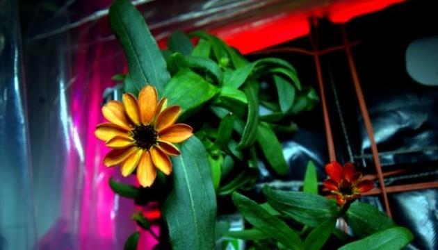 На МКС вперше розпустилася вирощена у космосі квітка