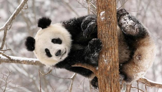 Киевскому зоопарку панды