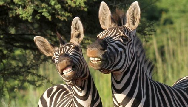 Смужки зебр визнали безглуздим засобом камуфляжу