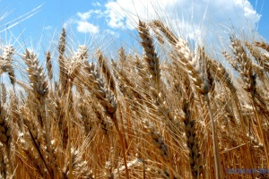Ukraine exported 10M tonnes of wheat in 2020/2021 MY