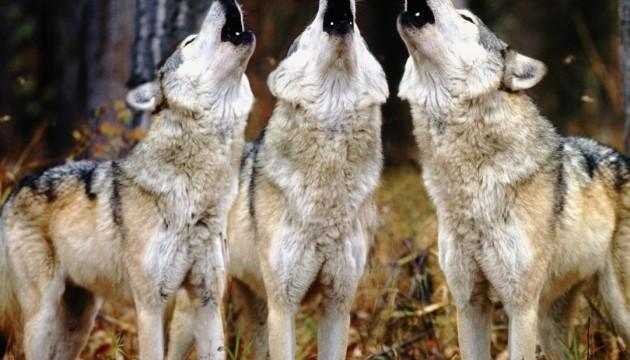 Вовки виють по-різному - вчені