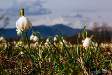 La vallée des jonquilles a fleuri en Transcarpatie