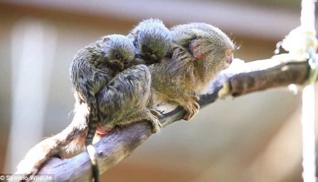 Наймініатюрніша у світі мавпочка народила двійню
