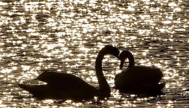 Держспоживслужба запевняє, що лебеді в Чорториї здорові