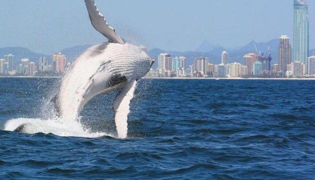 Франція розчарована рішенням Японії поновити полювання на китів