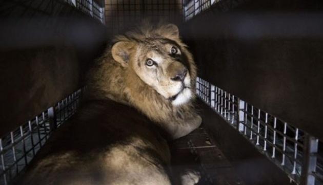 33 льва вырвались из цирка, а защитники животных только рады