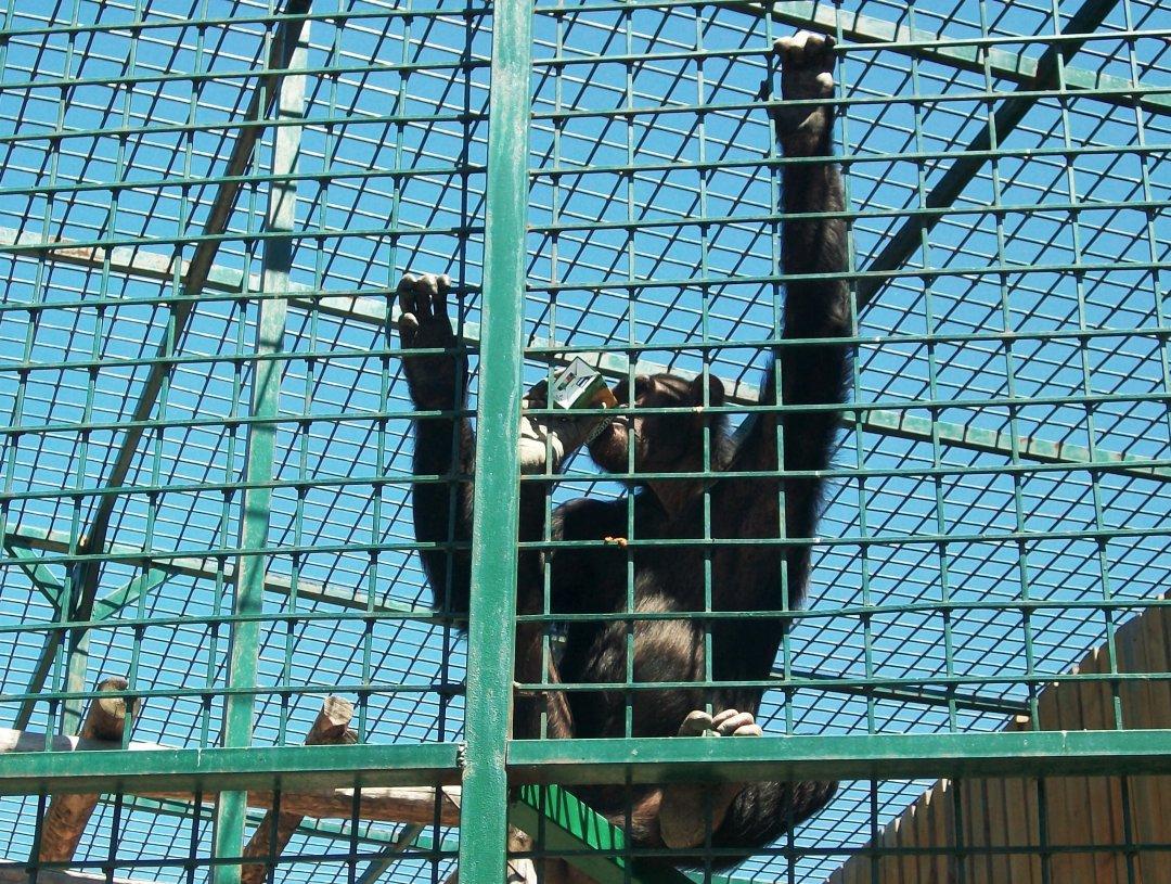 Шимпанзе, пьющая сок из трубочки