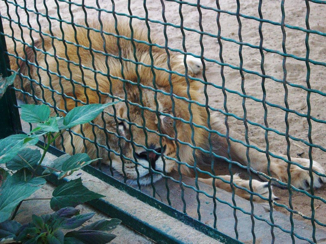 Лев в зоопарке