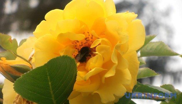 В центре Сум среди зимы расцвели розы