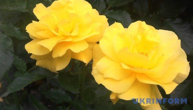 Імпорт троянд в Україну збільшився на чверть
