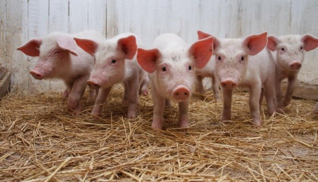 New outbreak of African swine fever reported in Mykolayiv region