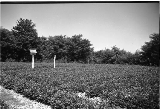 Мукачевская чайная плантация в 1953 г.