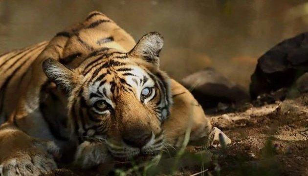 В Индии застрелили тигрицу, которая за два года убила 13 человек