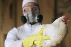 Спалахи пташиного грипу в Індії вже виявили у 12 штатах