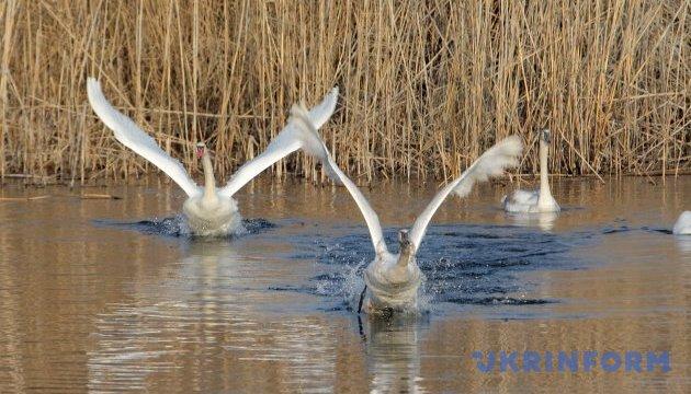 Птичий грипп, от которого погибли лебеди на Буковине, могли занести с Херсонщины