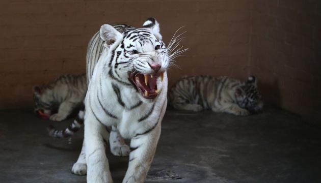 Рідкісний білий тигр народився в зоопарку Нікарагуа