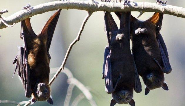 В Австралии жара «сбивает» летучих мышей на землю