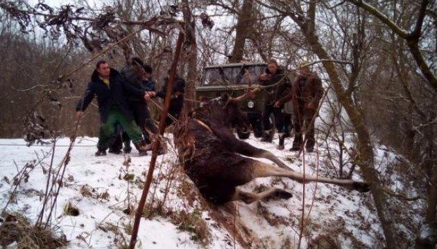 На Харківщині врятували з річки знесиленого лося