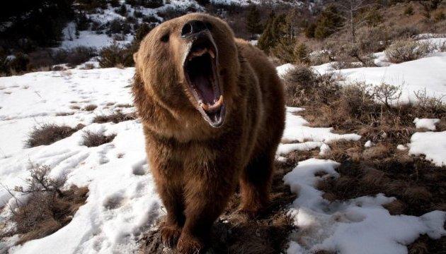 В Україні з'явиться ще один притулок для бурих ведмедів