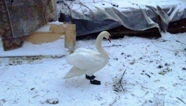 Харківський екопарк узяв на реабілітацію постраждалого в зоні АТО лебедя