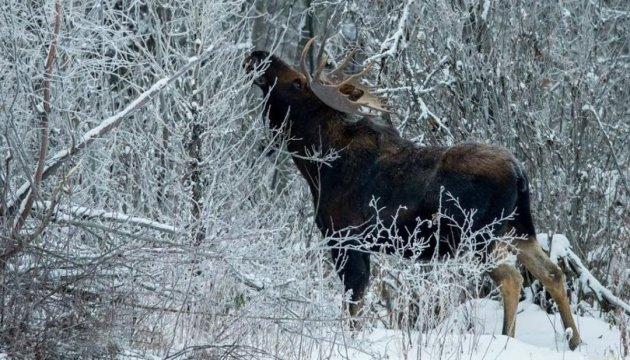 На Житомирщине браконьеры убили двух краснокнижных лосей