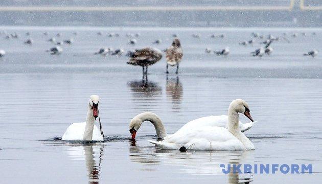 Зграя диких лебедів перезимує в Запоріжжі