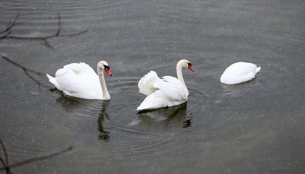 Причина загибелі 20 лебедів на Херсонщині – пташиний грип