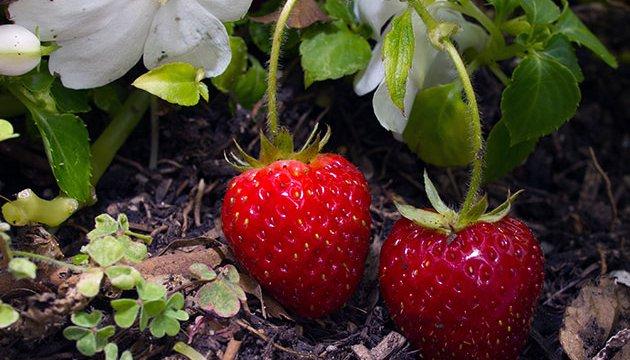 Ukraine hat Export von Beeren nach Europa um das drei-fache erhöht
