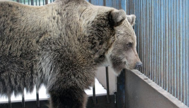 Ведмедиця Ляля із Дніпра переїжджає до заповідника