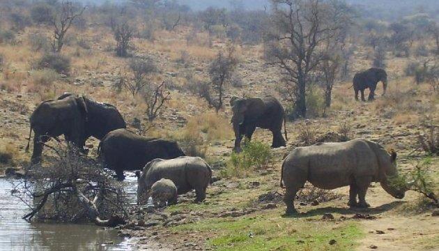 Браконьєри у ПАР стали менше вбивати носорогів
