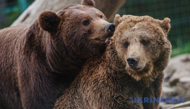 На Прикарпатье тепло не дало заснуть медведям