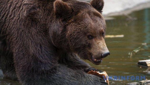 Поліція перевіряє інформацію про напад ведмедя на людей у Білій Церкві