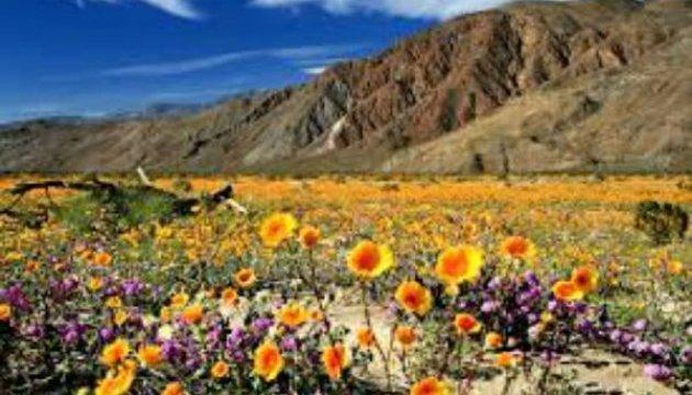 Каліфорнійський парк Анза-Боррего перетворився з пустелі на квітник