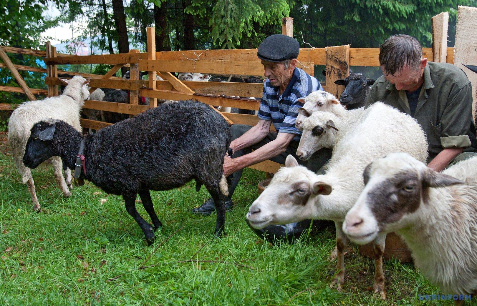 Вівчарі доять овець
