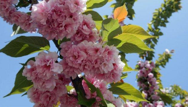 Japanese ambassador to plant sakura trees in Bakhmut of Donetsk region on May 2